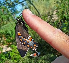 Living Desert Freshly Emerged Butterfly (2107A)