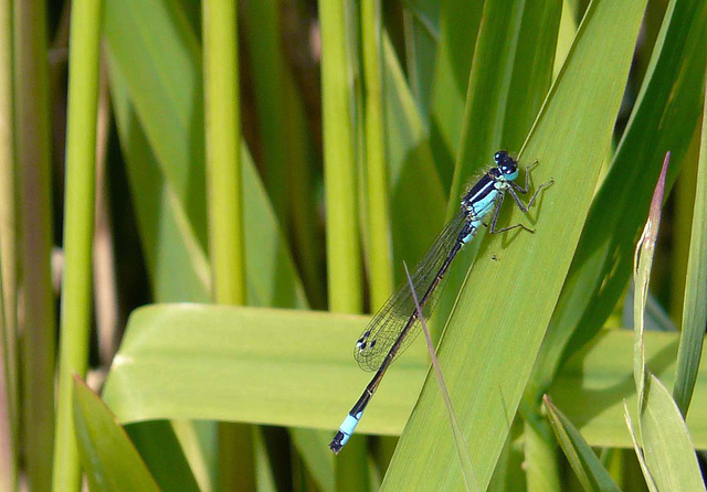 Blue-tailed Damselfly 10