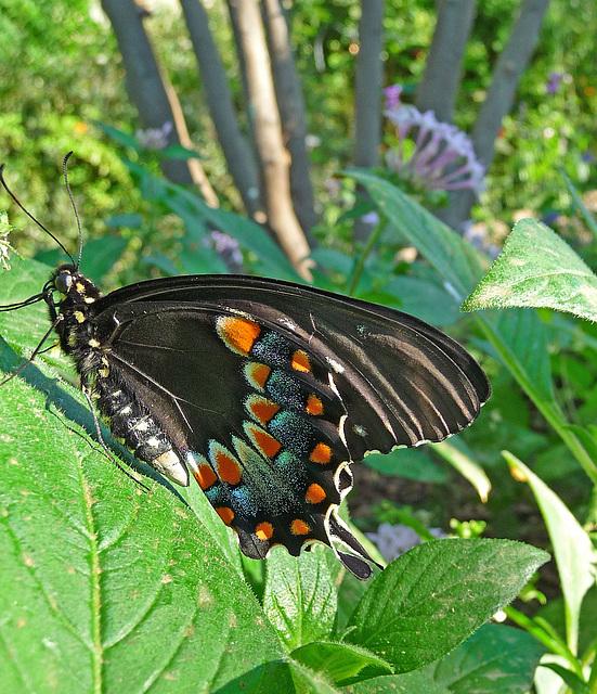 Living Desert Freshly Emerged Butterfly (2109)