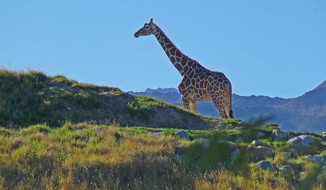 Living Desert Giraffe (2083)