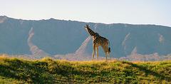 Living Desert Giraffe (2084)