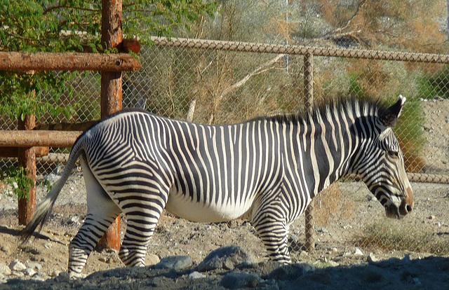 Living Desert Zebra (2098)