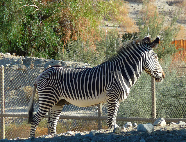 Living Desert Zebra (2099)