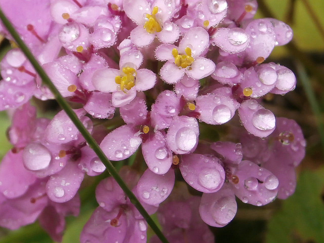 Each petal has caught the rain