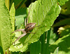 Nursery Web Spider 3