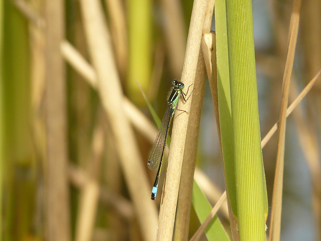 Blue-tailed Damselfly 15