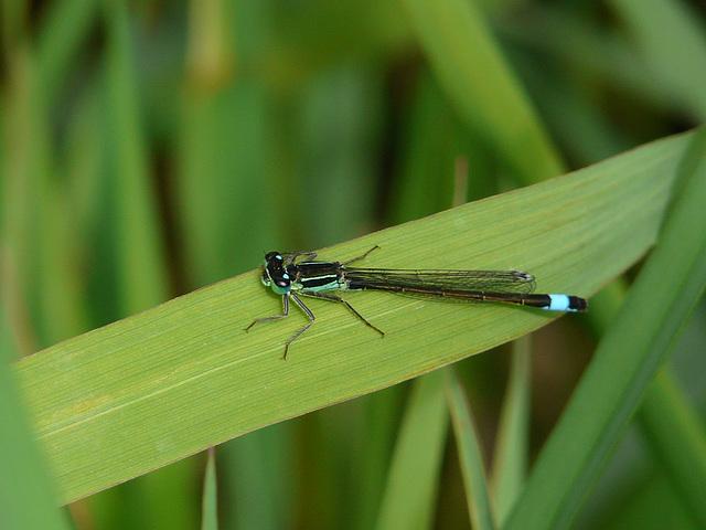 Blue-tailed Damselfly 13