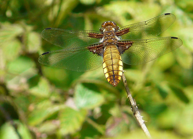 Broad Bodied Chaser -Female 1