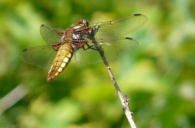 Broad Bodied Chaser -Female 2