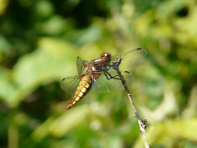 Broad Bodied Chaser -Female 3