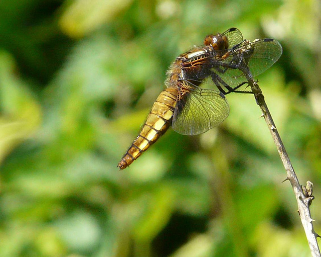 Broad Bodied Chaser -Female 4