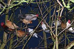 l'arbre aux poules