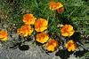 Corolles oranges : Pavots de Californie