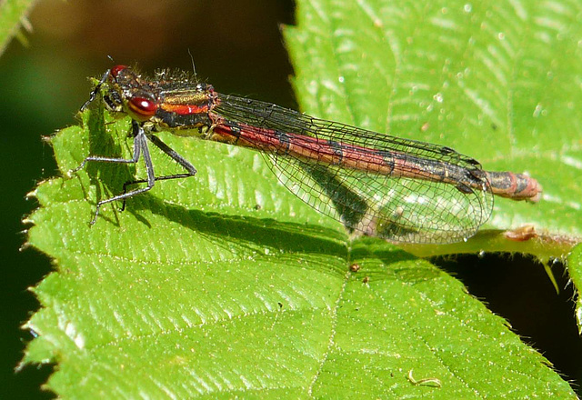 Large Red Damselfly Side