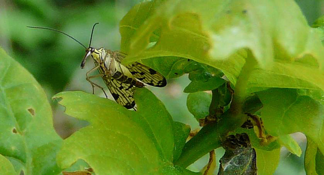 Scary Looking: Mecoptera - Scorpionfly