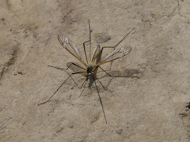 Humongous Mosquito