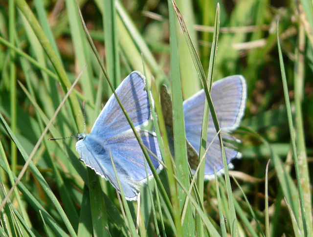 Common Blue Times 2