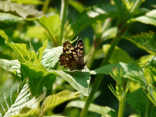 Speckled Wood Side