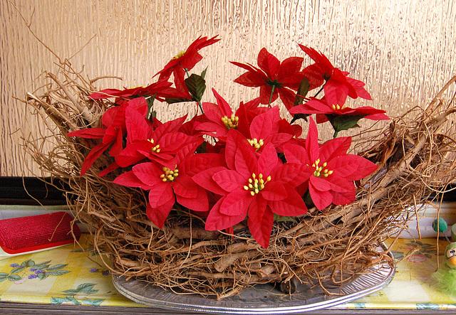 Kristnaskaj steloj en printempo Weihnachtssterne im Frühling
