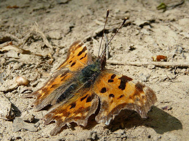 Comma Side