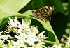 Speckled Wood with Friend