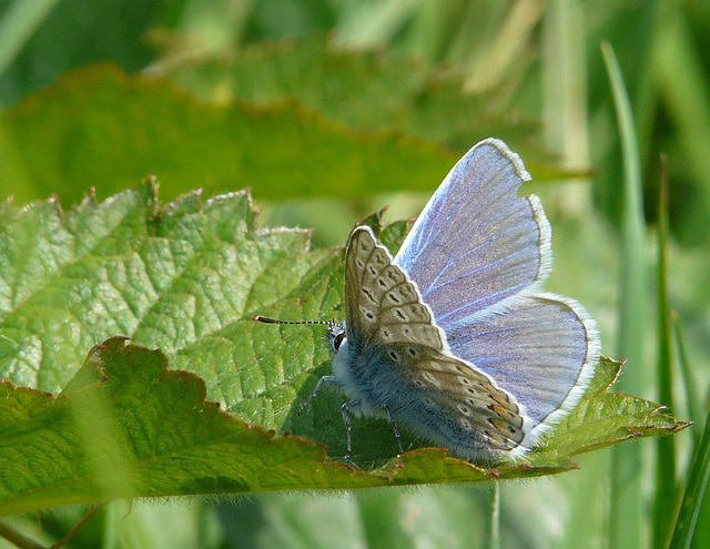 Common Blue Side