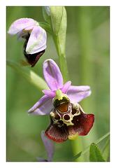 l'orchidée bourdon