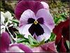 Lavender Pansy