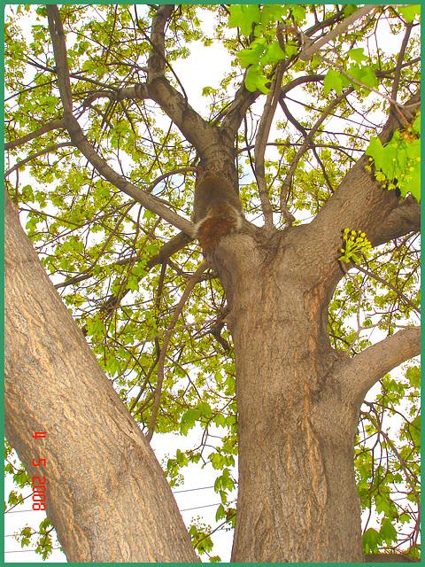 Écureuil collégial - Collegial squirrel.   Dans ma ville / Hometown. 4 mai 2008.