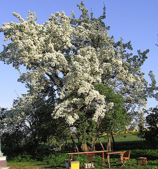 Uralter Birnbaum auf Rügen
