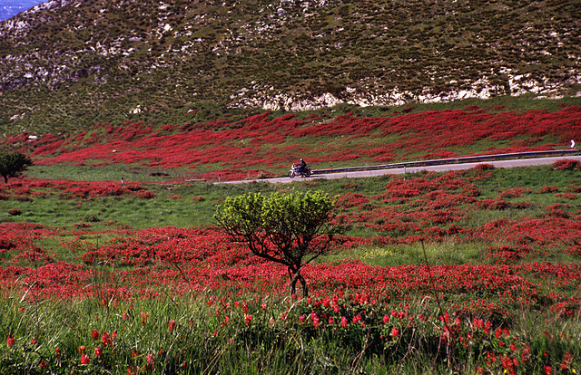 Riding through red flowers................