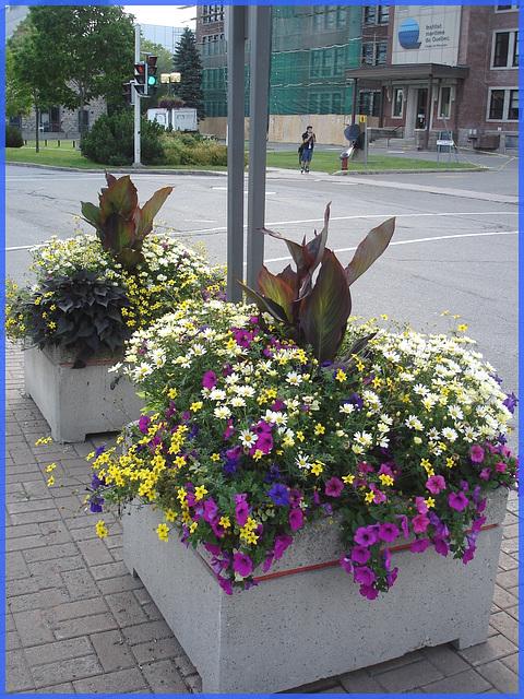 Bouquets de rue / Street bunches of flowers - Downtown / Centre-ville de Rimouski, Québec. CANADA.  11 août 2007.