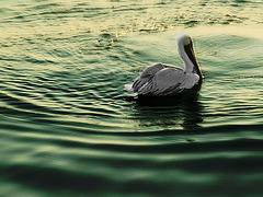 Pelican in evening light