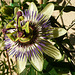 Passioflora - Passionsblume