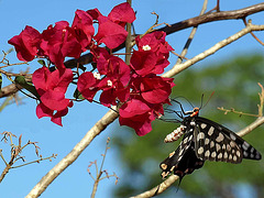 PB285359ac Butterfly Tasting the Nectar of Bougainvilleas Flowers