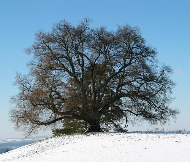 Zundelbacher Linde im Winter