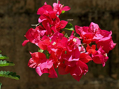 PB265296ac Tropical Christmas: Red Bougainvillea Suspended Bouquet