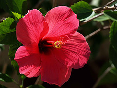 PB265302ac Tropical Christmas: Red Hibiscus