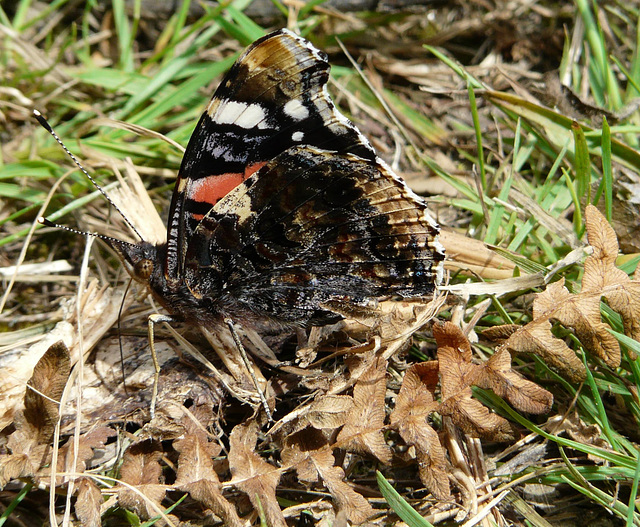 Red Admiral Side
