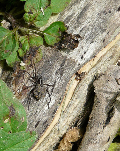 Spotted Wolf Spider with Spiderlings 1
