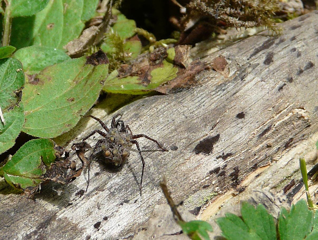 Spotted Wolf Spider with Spiderlings 2