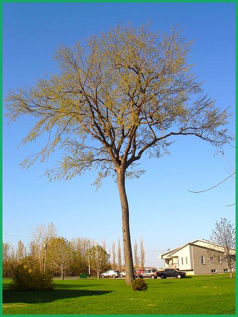 Arbre au long tronc  /   Endless trunk -  Dans ma ville - Hometown - Mai 2008