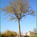 Arbre au long tronc  /   Endless trunk -  Dans ma ville - Hometown - Mai 2008
