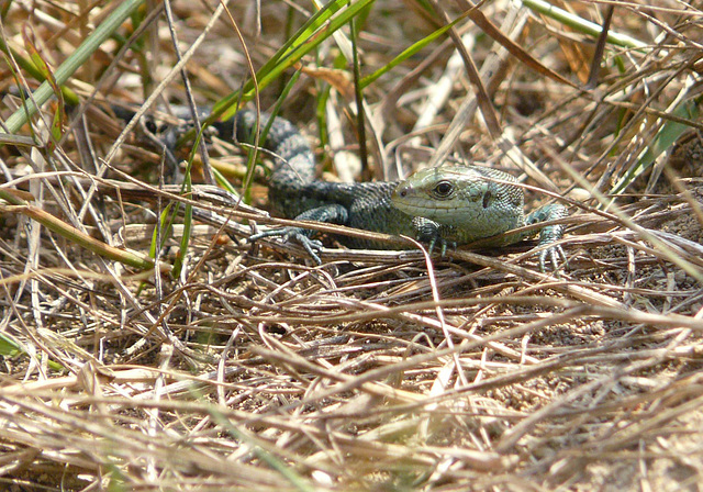 Common Lizard Baby 1