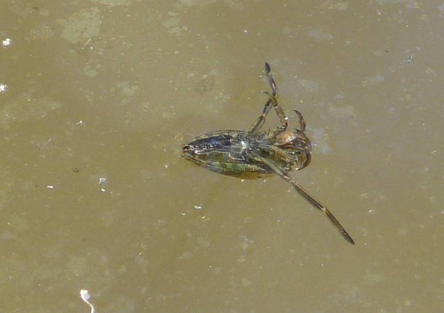 Backswimmer Bug