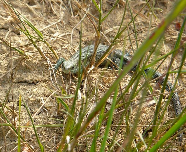 Common Lizard Baby 2