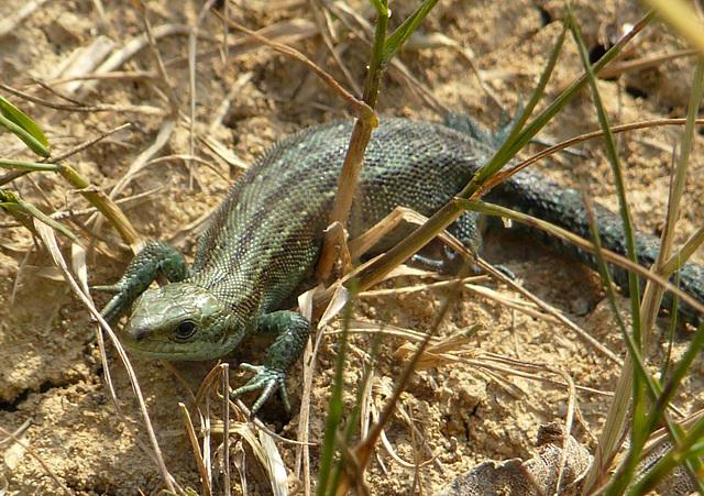 Common Lizard Baby 3