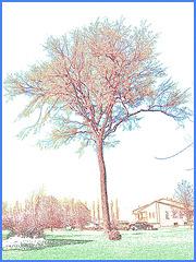 Arbre au long tronc / Long trunk tree - Contours de couleur / Dans ma ville - Hometown /  5 mai 2008