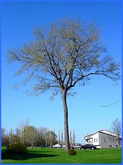 Long trunk tree / Long trunk tree - Version améliorée - Dans ma ville / Hometown / 5 mai 2008.