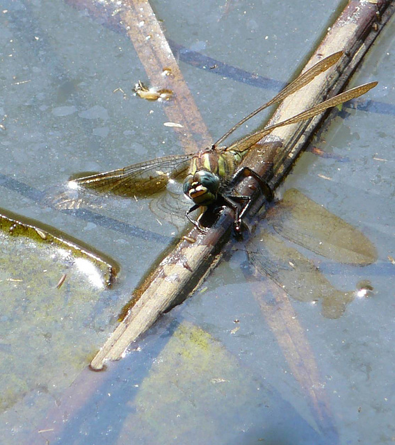 Hairy Dragonfly -Female